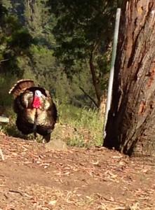 big-c-berkeley-turkey